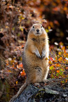 Artic Squirrel,Artic Squirrel,Fall, Wildlife,Denali National Park, Alaska