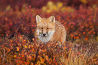 Firefox,Autumn, Red Fox,Tundra,Wildlife,  Denali National Park, Alaska, foliage, firefox
