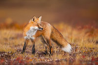 Tundra Reds,Alaska,Denali National Park,Fall,Red,Redtail Fox,Tundra,Wildlife,Yellow River