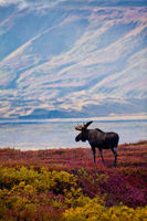 Tundra Carpet, Fall, Moose, Wildlife, tundra, Denali, park, vertical