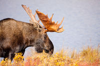 On the Walk, Fall, Moose, Wildlife, Denali National Park, Alaska, pond, Tundra