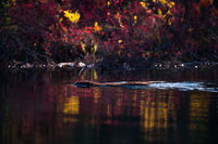 Working In Color,Fall,Landscape,Denali National Park, Alaska,reflection, water,trees