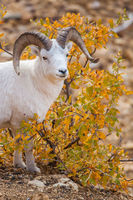 Autumn's Treats,Dall Sheep,Fall,Wildlife,Denali National Park, Alaska,vertical,dall,sheep