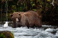 Wilderness Spa,Fall,Fishing,Grizzly,Wildlife,Katmai National Park, Alaska,Water, bear