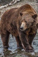 Griz,Fall,Grizzly,Wildlife,river,water,fishing,winter,vertical, bear