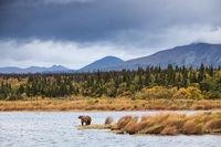 Autumn Gold,Gold,Katmai,National Park, Alaska,autumn,winter, bear, grizzly