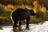 Backlit,Backlit,salmon,Wildlife,river,water,katmai national park,trees,yellow,horizontal, bear, grizzly