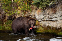 Sockeye Catch,Salmon,mouth,surviror,Wildlife,river,water,katmai national park,trees,green,horizontal, bear, grizzly