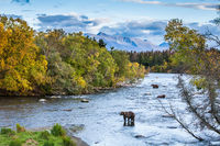 Bearly Room,Bear,grizzlies,Wildlife,river,water,katmai national park,trees,green,horizontal