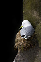 Room For One,Alaska, Black-legged Kittiwake, Saint Paul Island,Home