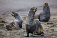 Fur Seal Trio