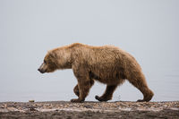 Doing the Rounds,Katmai National Park, Alaska,Salmon,Shoreline, bear, grizzly