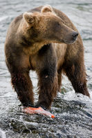 Fresh Catch,Grizzly,salmon,Wildlife,river,water,katmai national park,horizontal, bear