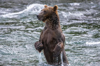Dip and Drip,Alaska,Brooks Falls,Salmon Fishing,Katmai National Park,Grizzly,Water, bear