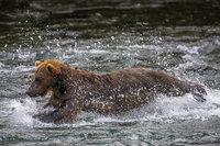 Diver Down,Alaska,Brooks Falls,Salmon Fishing,Katmai National Park,Grizzly,Water, bear