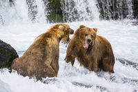 Hear Me Now?fierce, territorial ,battle,Alaska,skirmishes ,Brooks.SeasonFalls,katmai National park,grizzlies,horizontal, bear, grizzly