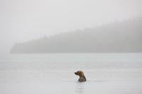 A Morning Bath,Alaska,water,swimm,katmai National park,grizzlies,horizontal, grizzly, bear