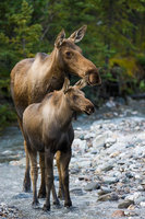 Staying Close, Alaska, Denali, park, river, water, vertical, Calf, River, Ear, Survival, moose