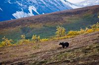 Bear Slopes,Alaska,Tundra,Denali National Park,grizzly,bear,slop,green, landscape