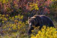 Quick and Quiet,Alaska,Tundra,Denali National  Park, autumn,brown, landscape, horizontal, bear, grizzly