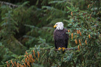 Bald Eagle,  Among the Pines, Haines, Alaska, wildlife