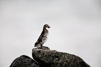 Aethia pusilla,Animal,Bird,Horizontal,Least Auklet,Wildlife,perched