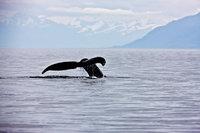 A Whale's Tale,Alaska,Horizontal,Humpback Whale,Mammal,Marine,Megaptera novaeangliae,Mountain,tail