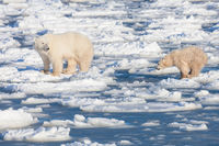 Learning Curve,Polar bear,Winter,cubs, Manitoba Canada, Learning Curve