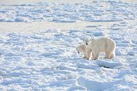 Close Enough!,Landscape,Polar bear,Wildlife,Winter,cubs,Manitoba, Canada