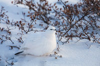 Snowball,Snow,Stock,Wildlife,Willow Ptarmigan,plumage,Horizontal,Gray