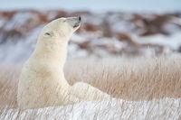 Sunning,Polar bear,Wildlife,Manitoba,horizontal,Sun,Rays