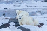 Polar Portrait,Polar bear,Wildlife,Winter,Manitoba, Canada,Ice,Hunt