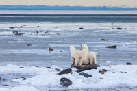 Waiting for the Hunt,Polar bear,Wildlife,Winter,Manitoba, Canada,Ocean,Air