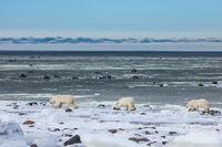 Polar Parade,Polar bear,Wildlife,Winter,Manitoba, Canada,Winter,Cool,Parade