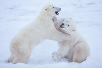 Sibs at Play,Fighting,Polar bear,Sparring,Wildlife,Winter,Manitoba, Canada,Ice