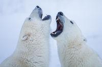 Polar Singsong,Fighting,Polar bear,Sparring,Wildlife,Winter,Manitoba, Canada,Ice