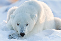 Winter's Repose,Canada,Horizontal,Ursus maritimus,blue,closeup,polar bear,white,wildlife,winter