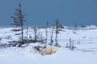 Artic Snooze,Manitoba, Canada,polar bear,wildlife,Wind