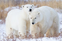 Fast Friends,Manitoba, Canada,polar bear,wildlife