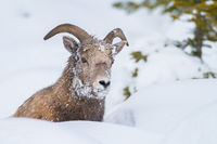 Snowface,Canada,Horizontal,Ovis canadensis,bighorn sheep,wildlife,winter