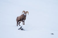 Looking at You,Icefields Parkway, Canada,Sheep,Climb,Snow,Winter