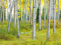 Pining Alone,Autumn,Jasper NP,aspens,folliage,forest,yellow