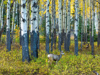 Free Spirits,Autumn,bitch trees,deer,forest,wildlife,yellow