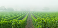 Vineyards into the Mist,California,Fog,Grapes,Panoramic,Vineyard,Wine,green,horizontal,Santa Barbara County,grape,vine,fog