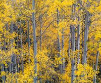 Gold on Silver,Aspen,Autumn,Colorado,Yellow,horizontal