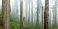 Among Redwoods,Redwoods, Trees, Del Norte Coast Redwoods State Park,Ocean,Trees