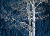 Embraced,Aspen,Blue,Colorado,Winter,horizontal
