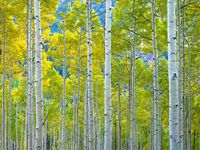 Aspen,Colorado,Fall,Forest,Green,Seasonal,Trees,Yellow,autumn