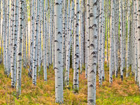 Among the Aspen,Autumn,Colorado,horizontal,Grove,Trees,Snow,Blanket,McClure Pass