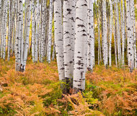 Paper Forest,Colorado,Horizontal,aspen,autumn,foliage,landscape,trees